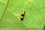 Orange and black leafhopper [costa_rica_osa_0481]