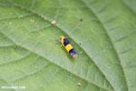 Orange and black leafhopper [costa_rica_osa_0482]
