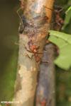 Leaf-cutter ants [costa_rica_osa_0486]
