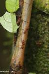 Leaf-cutter ants [costa_rica_osa_0487]