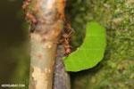 Leaf-cutter ants [costa_rica_osa_0490]