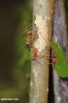 Leaf-cutter ants [costa_rica_osa_0494]