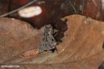 Frog [costa_rica_osa_0498]