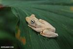 Gladiator Tree Frog (Hypsiboas rosenbergi) [costa_rica_osa_0526]