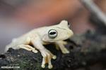 Gladiator Tree Frog (Hypsiboas rosenbergi) [costa_rica_osa_0532]