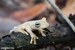 Gladiator Tree Frog (Hypsiboas rosenbergi) [costa_rica_osa_0537]