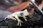 Gladiator Tree Frog (Hypsiboas rosenbergi) [costa_rica_osa_0542]
