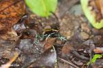 Golfo Dulce Poison Dart Frog [costa_rica_osa_0565]