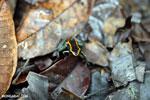 Golfo Dulce Poison Arrow Frog