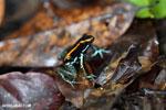 Golfo Dulce Poison Dart Frog (Phyllobates vittatus)  [costa_rica_osa_0574]
