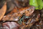 Golfo Dulce Poison Dart Frog