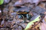 Golfo Dulce Poison Arrow Frog [costa_rica_osa_0577]