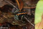 Golfo Dulce Poison Dart Frog (Phyllobates vittatus)  [costa_rica_osa_0580]