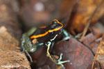 Golfo Dulce Poison Dart Frog (Phyllobates vittatus)  [costa_rica_osa_0588]
