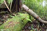 Golfo Dulce Poison Dart Frog (Phyllobates vittatus)  [costa_rica_osa_0592]