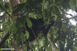 Geoffroy's Spider Monkey [costa_rica_osa_0605]