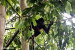 Costa Rican Spider Monkey [costa_rica_osa_0610]