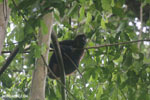 Costa Rican Spider Monkey [costa_rica_osa_0612]