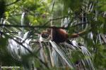 Geoffroy's Spider Monkey [costa_rica_osa_0628]