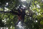 Group of Geoffroy's Spider Monkeys [costa_rica_osa_0638]