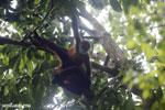 Group of Geoffroy's Spider Monkeys [costa_rica_osa_0642]