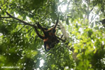 Group of spider monkeys [costa_rica_osa_0657]