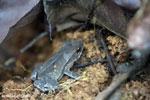 Frog [costa_rica_osa_0679]