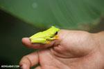 Gliding tree frog (Agalychnis spurrelli) [costa_rica_osa_0682]
