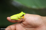 Gliding tree frog (Agalychnis spurrelli)