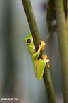 Gliding tree frog (Agalychnis spurrelli) [costa_rica_osa_0688]