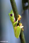 Agalychnis spurrelli tree frog [costa_rica_osa_0689]