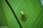 Gliding tree frog (Agalychnis spurrelli) [costa_rica_osa_0690]