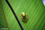 Agalychnis spurrelli tree frog [costa_rica_osa_0691]