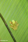 Gliding tree frog (Agalychnis spurrelli) [costa_rica_osa_0692]
