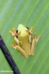 Agalychnis spurrelli tree frog