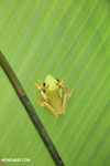 Gliding tree frog (Agalychnis spurrelli) [costa_rica_osa_0694]