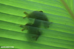 Gliding tree frog (Agalychnis spurrelli) [costa_rica_osa_0698]