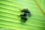 Gliding tree frog (Agalychnis spurrelli) [costa_rica_osa_0700]