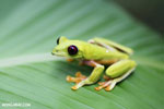 Gliding tree frog (Agalychnis spurrelli) [costa_rica_osa_0704]