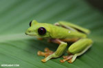 Gliding tree frog (Agalychnis spurrelli) [costa_rica_osa_0706]