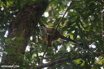Squirrel monkey [costa_rica_osa_0711]