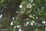 Squirrel monkey [costa_rica_osa_0712]