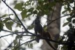 Squirrel monkey [costa_rica_osa_0717]