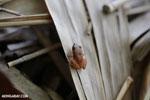 Frog [costa_rica_osa_0776]