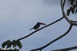 Chestnut-mandibled Toucan (Ramphastos swainsonii) [costa_rica_osa_0803]