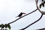 Chestnut-mandibled Toucan (Ramphastos swainsonii) [costa_rica_osa_0804]