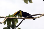 Chestnut-mandibled Toucan (Ramphastos swainsonii) [costa_rica_osa_0809]