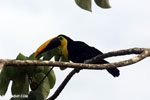 Chestnut-mandibled Toucan (Ramphastos swainsonii) [costa_rica_osa_0811]