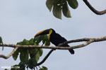 Chestnut-mandibled Toucan (Ramphastos swainsonii) [costa_rica_osa_0813]