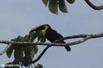 Chestnut-mandibled Toucan (Ramphastos swainsonii) [costa_rica_osa_0815]